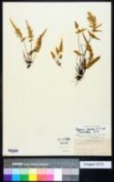 Asplenium × ebenoides image