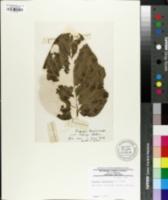 Image of Populus lasiocarpa