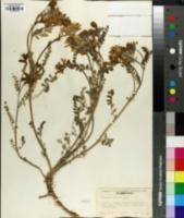 Astragalus sinuatus image