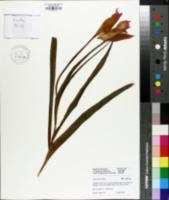 Image of Tulipa albertii