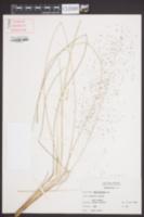 Muhlenbergia sericea image