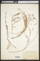 Image of Chamaesyce porteriana