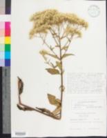 Image of Eupatorium pilosum