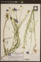 Cyanus segetum image