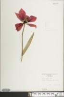 Image of Tulipa eichleri