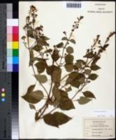 Collinsonia canadensis image