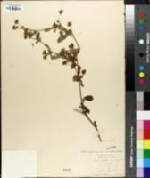 Potentilla norvegica subsp. monspeliensis image