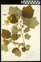 Acer spicatum image