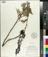 Image of Aconitum napellus