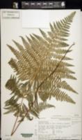 Image of Hypolepis ambigua