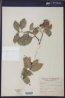 Citrus x sinensis image