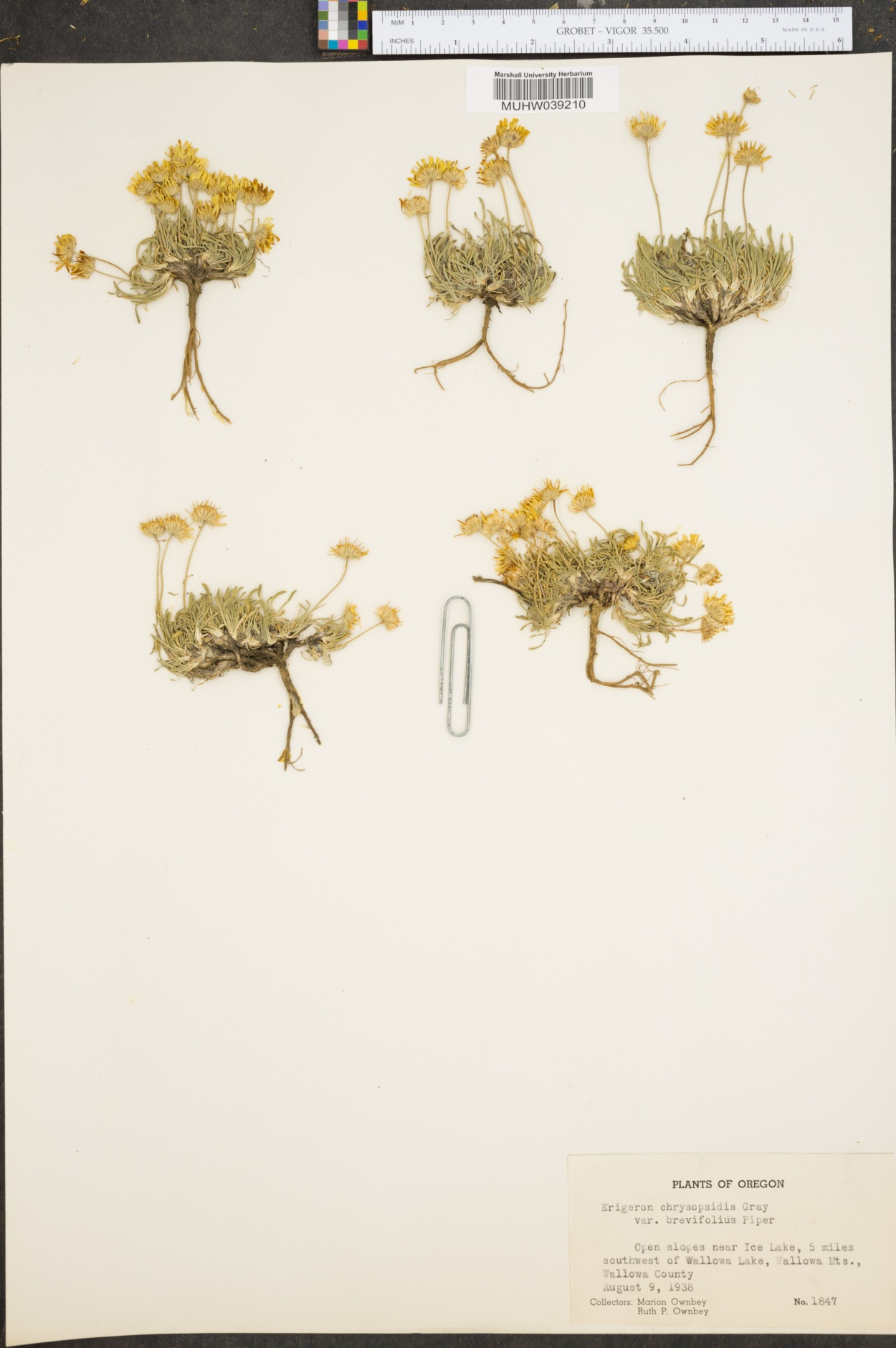 Erigeron chrysopsidis var. brevifolius image