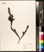 Image of Epacris pulchella