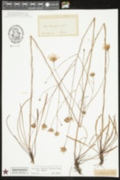 Image of Eurybia chapmanii