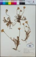 Image of Malacothrix incana