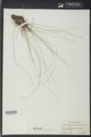 Eleocharis vivipara image