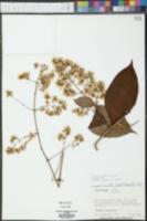Mikania stuebelii image