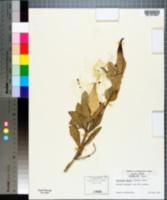 Image of Asclepias emoryi