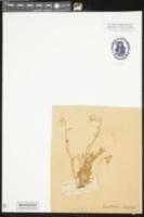 Delphinium carolinianum image