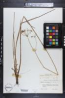 Tiedemannia filiformis image