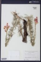 Ipomopsis rubra image