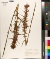 Dulichium arundinaceum image