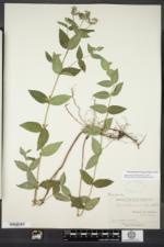Pycnanthemum muticum image