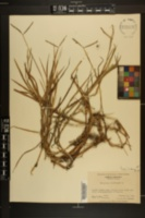 Paspalum distichum image