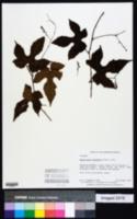 Image of Ampelocissus robinsonii