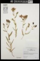 Image of Mentzelia oreophila