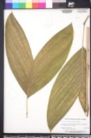 Image of Chamaedorea brachypoda