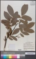 Image of Cyclocarya paliurus