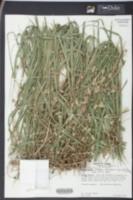Chasmanthium nitidum image