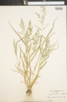 Eragrostis cilianensis image
