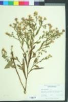 Symphyotrichum elliotii image