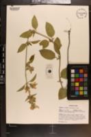 Scutellaria mellichampii image