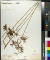 Cyperus nuttallii image