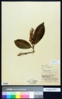 Prunus laurocerasus image