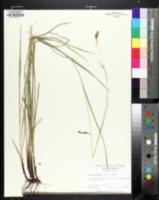 Carex oxylepis image