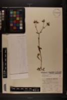 Image of Valerianella longiflora