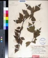 Image of Hibiscus tiliaceus