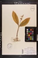 Convallaria majalis image