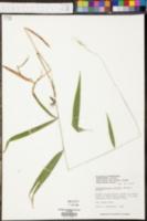 Image of Panicum sadinii