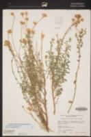 Monardella robisonii image