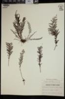 Image of Amphoradenium tamariscinum