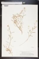 Image of Lobularia canariensis