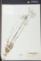 Panicum glabrifolium image
