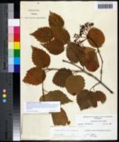 Viburnum recognitum image