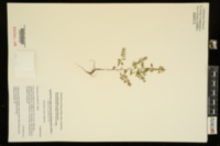 Phyllanthus caroliniensis subsp. caroliniensis image
