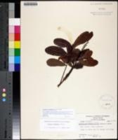 Geobalanus oblongifolius image